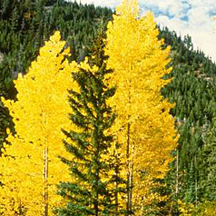 A mixed stand of aspen and pine in the Okanagan region of British Columbia and Washington state