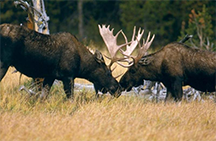 Bull moose sparring in Grand Teton National Park