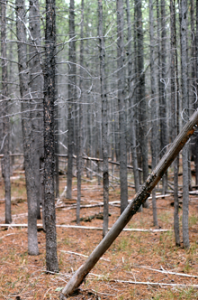 A dense Lodgepole Pine stand in Yellowstone National Park in the United States