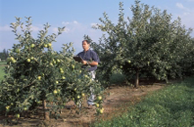 A dwarf apple tree typical of modern commercial varieties