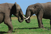 A debate between elephants