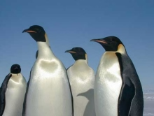 A group of Emperor Penguins