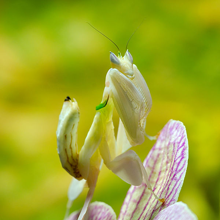 An orchid mantis (Hymenopus coronatus) perched on an orchid