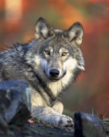 A gray wolf. Animosity between wolves helps ensure balance.