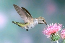 A hummingbird feeding on the nectar of a flower