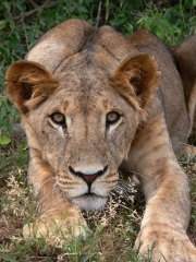 Lion, ready to spring, in Samburu National Reserve, Kenya.