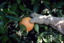 Shaking an orange tree