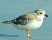 The piping plover, a threatened species of shore bird