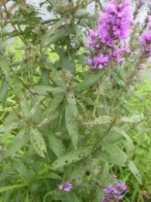 Damage to Purple Loosestrife due to feeding by the galerucella beetle