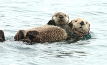 A sea otter and pup