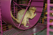 A squirrel running a cage