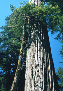 Two redwoods in the Stout Memorial Grove of the Jedediah Smith Redwoods State Park in California