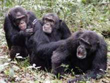 Three adult male chimpanzees during a grooming session