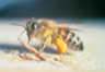 An Africanized honeybee, also known as a killer bee