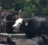 Symptoms of Stage 5 heat stress in cattle