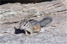 A Cliff Chipmunk in Saguaro National Park in Arizona