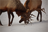 Bull Elk Antler Sparring for Dominance in their herd