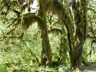 The Hall of Mosses Trail in the Hoh Rain Forest
