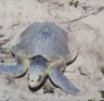 A Kemp's Ridley sea turtle (<i>Lepidochelys kempi</i>), ashore, probably to lay eggs