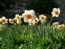 Daffodils of the variety Narcissus 'Barrett Browning'