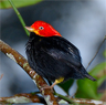 The male red-capped manakin