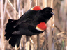 Male Red-Winged Blackbird displaying during breeding season