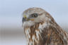 A Rough-Legged Hawk surveys its domain