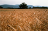 A field of Cereal Rye