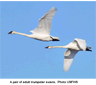 A pair of adult trumpeter swans
