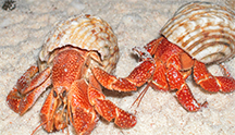 Two hermit crabs in their snail shells