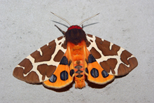 The Garden Tiger moth, Arctia caja
