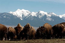 Bison on the U.S. National Bison Range in Montana