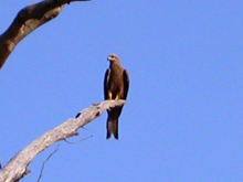 A black kite, a species of hawk