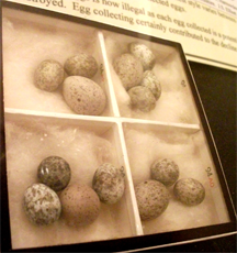 Four clutches of reed warbler eggs, each with a cuckoo egg present, on display in Bedford Museum