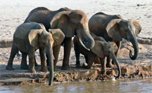 An elephant family drinking, Samburu National Reserve Kenya