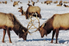 Two elk working out their differences over reproductive rights