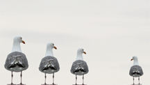 Three gulls excluding a fourth