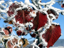 Hoarfrost coating Autumn leaves