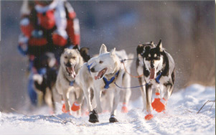 Huskies along the trail during start day, March 1998, Iditarod Trail Sled Dog Race