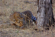 A leopard stalking its prey