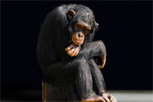 A lonely chimpanzee