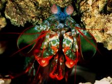 A mantis shrimp, recently discovered to have the ability to detect the circular polarization state of light
