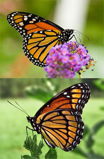 Monarch butterfly (top) and Viceroy (bottom)