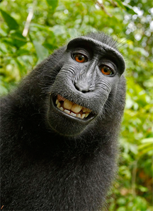 A Celebes Crested Macaque