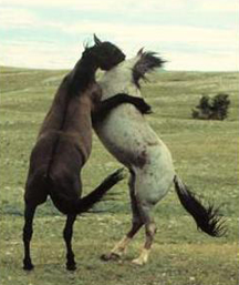 Mustang stallions fighting