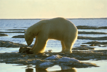 A polar bear, feeding, on land