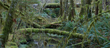 The Quinault rain forest