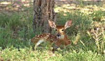 A fawn resting in sunlight-speckled high grass
