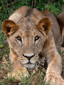 Lion, ready to spring, in Samburu National Reserve, Kenya
