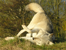 Duma, a wolf at the UK Wolf Conservation Trust, rolls to capture a scent atop a mound